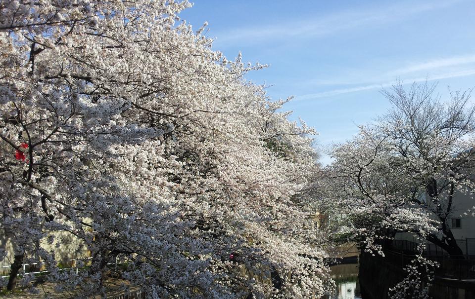 sakura_seijou01