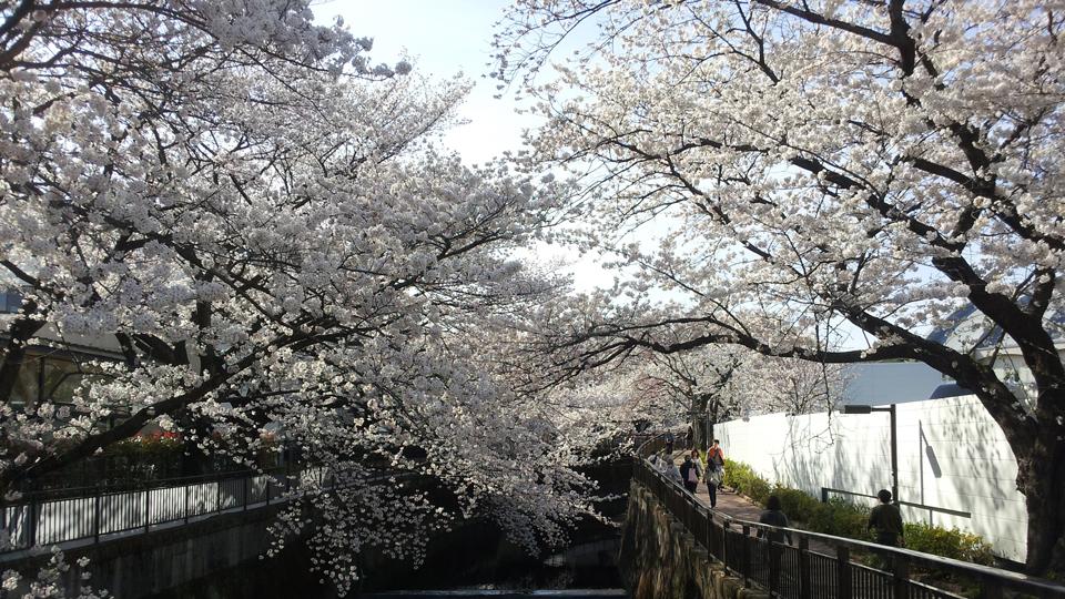 sakura_seijou02